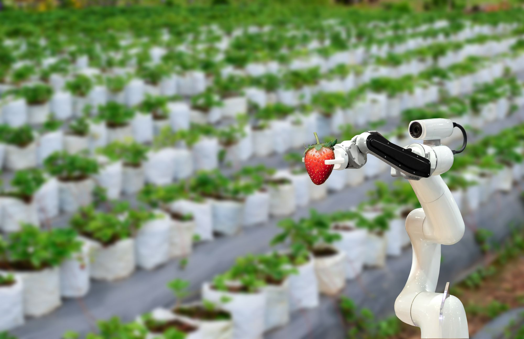 Photo of the project agROBOfood, robot holding a strawberry, field